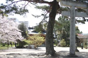 満開の桜と桜吹雪が美しい霜山との壱岐神社に集って和歌を作りました