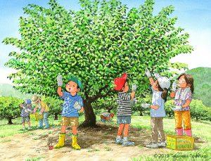 梅雨の晴れ間に梅酒や梅ジュース用の梅を採ります。ほんのりとかぐわしい青梅のいい匂いがしました。