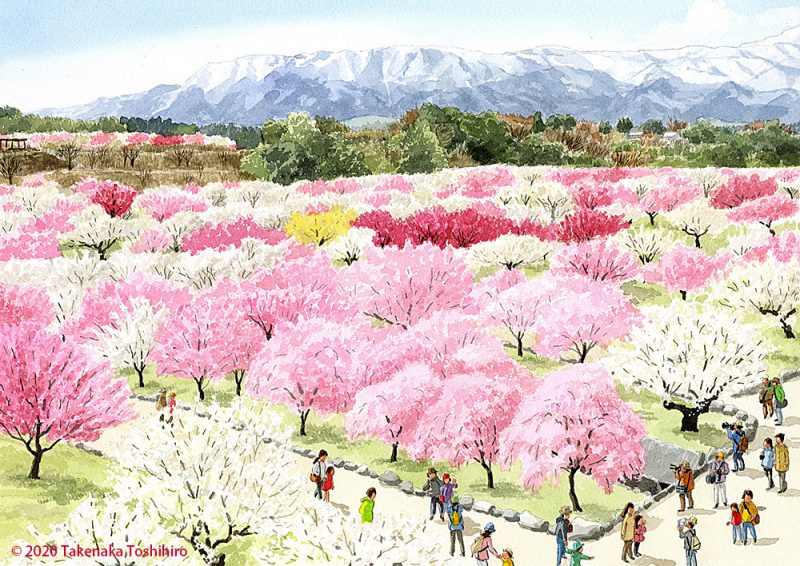 三重県のいなべ市農業公園内の梅林公園では満開の紅梅と白梅が香りも豊かに咲き誇っています
