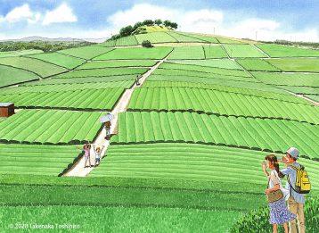 福岡県、八女の中央大茶園は見渡す限りの大茶畑。